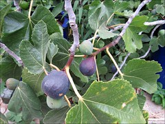 Mission fig tree (Needleloca) Tags: 2016 figs trees garden fruit ribbet