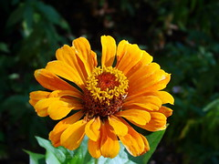 Zinnia (R_Ivanova) Tags: zinnia flower flowers garden nature macro colors color yellow summer sony rivanova