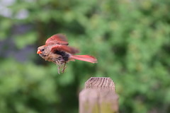 Female Cardinal Takes Flight (electricthrift) Tags: cardinal birds nikon70300mmf4556gedifafsvr flight motion