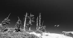 Toothpicks (alideniese) Tags: brycecanyon utah usa trees landscape blackandwhite bw monochrome nature