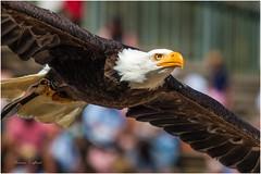 De plume et d'air (TonioSkipper) Tags: bird rapace eagle photographieanimalire animalphoto vitesse speed plumes regard eyes pygarguetteblanche puydufou canon canon70d canon70300mm ailesdployes wings ailes majestieux beaut beauty zoom