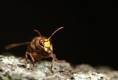European hornet (Mike Mckenzie8) Tags: vespa crabro british uk wild wildlife insect nest macro canon tree forest bark antennae wasp swarm autumn outdoor sting
