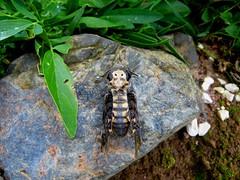 Death's Head Hawmoth (Owen Beckett) Tags: hawkmoth deaths head moth wildlife nature insect