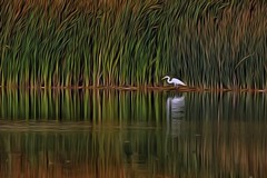 Egret On The Columbia River (amarilloladi) Tags: sliderssunday hss columbiariver swamp egret