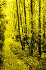 Yellow path (bernat.rv) Tags: yellow path camino amarillo arboles bosque trees woods forest naturaleza otoo