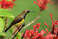 Among Flowers: Male Olive-Backed Sunbird (engrjpleo) Tags: olivebackedsunbird sunbird birds philippines wildlife nature outdoor yellowbelliedsunbird
