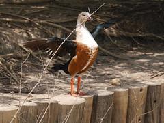 P2230518 (Gareth's Pix) Tags: aviarionacionaldecolombia baru colombia aviario bird