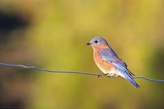 Eastern Bluebird (Mike Schanbacher) Tags: easternbluebird bluebird falmouth capecod bird birding birds ma usa
