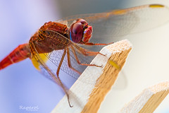 Dragonfly (raperol) Tags: airelibre 5dsr 100mm macro insectos