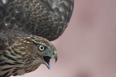 Cooper's Hawk (myrgard) Tags: marinheadlands hawkhill raptor raptorobservatory