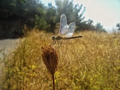 Dragonflies (panoskaralis) Tags: dragonfly libelule moskito nature plants flowers green lesbos lesvosisland lesvos island mytilene greece greek hellas hellenic aegean aegeansea landscape outdoor