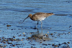 Curlew (Hythe Eye) Tags: hythe hampshire southamptonwater curlew