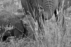 Mother and baby (crafty1tutu (Ann)) Tags: travel holiday 2016 southafrica africa krugernationalpark animal elephant mother baby cute crafty1tutu canon7dmkii ef100400mmf4556lisiiusm wild inthewild free roamingfree anncameron blackandwhite monochrome naturethroughthelens