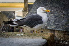 Normandy seagull (Rayoflightbe) Tags: normandi travel normandy mont saint michel bird seagull nature