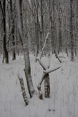 ckuchem-1633 (christine_kuchem) Tags: baumrinde buche bume eiche eis frost hainbuche natur pfad pflanzen ruhe samen spuren stille struktur wald weg wildpflanzen winter einsam kalt schnee ste
