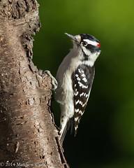 Downy Woodpecker (Matt Cuda - www.mattcuda.com) Tags: usa bird birdwarching birding birds downey downy downywoodpecker feeding forsythcounty latched latching male nc northcarolina summer woodpecker