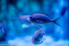 Pisces (Gian Floridia) Tags: 50mmf12 milano acquario bokeh comunale fish pesci pisces