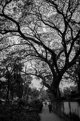 Beauty Bones (MH Photograaphy) Tags: beauty bones tree graden human peoples street dhaka bangladesh planthouse mogbazar ramna policestation road side view ngc blackandwhite plant monochrome outdoor cherry blossom cherryblossorm serene park tangle