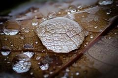 Water drops (cm.andersson) Tags: macromondays macro backlit
