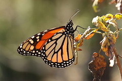Monarch - Danaus plexippus (Roger Wasley) Tags: monarch milkweed danausplexippus asclepia northamerica mexico canaryislands africa lapalma losllanos botanicalgarden butterflies