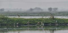 The Najafgarh Gang (Nitya..) Tags: migratorybirds najafgarhjheel riversahibi 159 dbpwalk delhibirdphotographers birds d750 drain jheel najafgarh nikkor200500 nikon photowalk wetlands winter