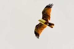 Soaring (malc1702) Tags: brahminykite kite birds largebirds birdsofprey wildlife animals nature graceful indianbirds asianbirds nikond7100 tamron150600 inflight birdinflight wingspread wings