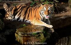 Siberische tijger - Panthera tigris altaica -  Siberian Tiger (MrTDiddy) Tags: female cat mammal zoo big kat feline tiger bigcat antwerp siberian tijger tigris antwerpen zooantwerpen amur grote panthera altaica zoogdier yessie amoer grotekat siberische