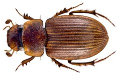 Lorditomaeus horni (Balthasar, 1937) (urjsa) Tags: africa insect kenya beetle afrika insekt kenia kfer coleoptera kaefer scarabaeidae horni taxonomy:order=coleoptera taxonomy:family=scarabaeidae coleopteraus geo:country=kenya aphodiinae taxonomy:species=horni lorditomaeus taxonomy:genus=lorditomaeus lorditomaeushorni taxonomy:binomial=lorditomaeushorni