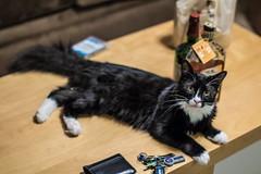 Boba Fet aka Backup Buddy (abysal_guardian) Tags: ex cat canon eos 50mm f14 sigma dg hsm sigma50mmf14exdghsm 7dmarkii 7dm2