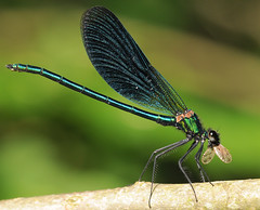 Beautiful Demoiselle (Severnrover) Tags: beautiful dragonfly demoiselle odonata