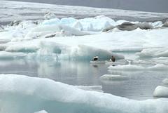 Birds on the iceberg (VinayakH) Tags: nationalpark lagoon glacier iceberg naturalwonder jkulsrln skaftafell glacierlagoon glaciallake hfn southeasticeland breiamerkurjkullglacier vatnajkullnationalpark