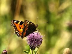 Small Tortoiseshell 981 (saxonfenken) Tags: nature butterfly insect dof purple thistle tortoiseshell wildflower shallowdof 6849 challengeyou july2008 thechallengefactory pregamewinner 6849but