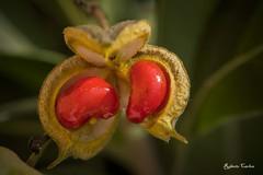 Bacche di Pitosforo (Roberto Carlon) Tags: red plant berry pianta bacca pittosporum rosse pitosforo