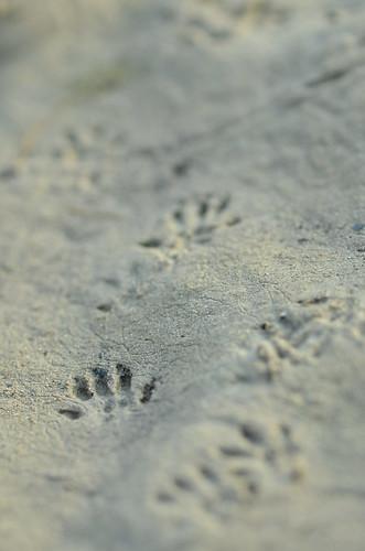 Spuren im Sand (Schermaus - Arvicola terrestris)