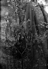 Ricoh TLS 401 with Helios 44-2 - Branch of Autumn (Kojotisko) Tags: bw czech brno cc creativecommons czechrepublic ricoh helios442 ricohtls401 helios442258 ricohtls