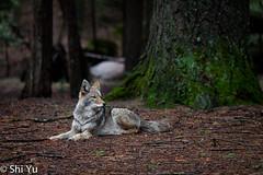 Coyote @ Yosemite (Shi Yu) Tags: california coyote wild animals places yosemite wildeanimals
