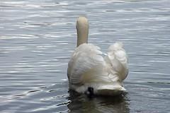 Swan (richard_brown169) Tags: life wild bird birds swan cygnet swans