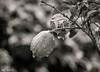 Lemon Tree, Kfar Hananya