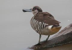 pink-eared duck (Malacorhynchus membranaceus)-2681 (rawshorty) Tags: birds australia canberra act jerrabomberrawetlands rawshorty