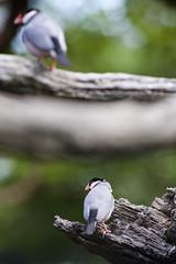 Java Sparrow  (wingchenhk) Tags: java nikon sparrow f4 70210