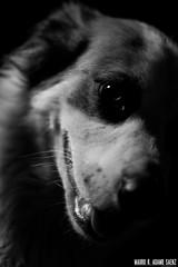 _MG_4087 (MauroAdamoSaenz) Tags: dog pet black negro perro coco fondo mascota mauro 50mm18 saenz backgroud adamo canont3