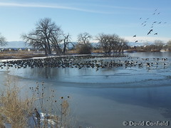 December 27, 2014 - Geese rest in open water on McKay Lake in Broomfield. (David Canfield)