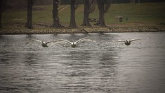 Swans on the river Korana (malioli) Tags: city nature water birds canon river town fly swan europe place riverside wildlife flock croatia swans riverbank cro hrvatska karlovac korana