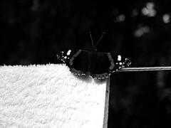 Schmetterling (loulouisee) Tags: blackandwhite berlin canon butterfly familie jardin papillon garten schmetterling wscheleine