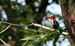 White Throated Kingfisher - Keeping a watch (youmeandthemail) Tags: white bird nature kingfisher throated
