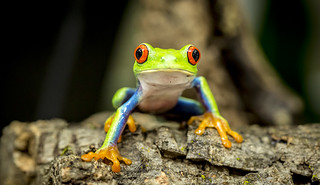 Agalychnis callidryas (Red Eyed Tree Frog) (Explored Feb 9 2015) thank you!
