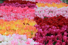 Tulip Clusters (grce) Tags: flowers plants flower holland netherlands dutch garden spring tulips tulip flowering