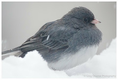 Dark-eyed Junco (greg obierek) Tags: bird nature canon wildlife junco sparrow avian darkeyedjunco juncohyemalis backyardbirds ef500mmf4isl eos7dmkii