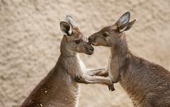 Affection (Photosuze) Tags: two nature animals zoo friendship affection wildlife pair kangaroos marsupials losangeleszoo