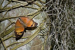 Organic tangle... Autumn Leaf butterfly, orchid roots and Spanish Moss (jungle mama) Tags: autumnleaf doleschalliabasaltide tropicalbutterflies orchid root palm orange wingsofthetropics fairchildtropicalbotanicgarden f tillandsia